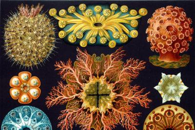 'Morphic Resonance & Morphic Fields', Collective Memory & the Habits of Nature Haeckel_ascidiae-1-400x266-1